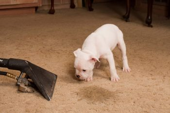 Carpet cleaner for cleaning dog urine