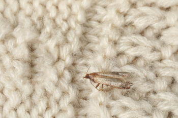 How to get rid of moths: small moth on sweater